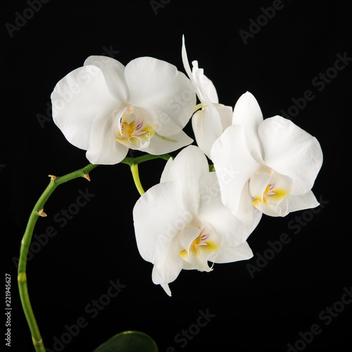 Fototapeta White Phalaenopsis orchid flowers on black background.
