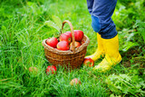 Closeup of basket with red apples and rubber boots on little kid, boy or girl on organic farm, autumn outdoors. Toddler child having fun with helping and harvesting. - 221948683