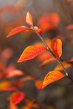 Vibrant red autumn leaves on bush - 221960246