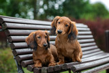 two adorable dachshund puppies posing on a bench together - 221960825