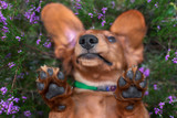 funny nose and paws of a dog lying upside down - 221960895