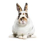Rex Dalmatian Rabbit, sitting against white background