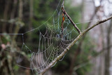 Wet cobweb in tree branch in forest - 221961497