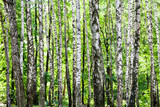 birch grove in green woods on sunny summer day - 221962216