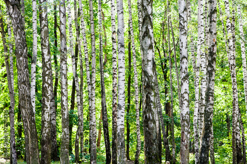 birch grove in green woods on sunny summer day