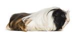 Coronet cavy, Guinea pig against white background
