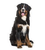 Bernese Mountain Dog, 10 months old, sitting against white backg