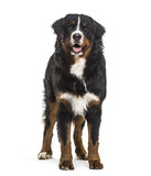 Bernese Mountain Dog, 10 months old, standing against white back