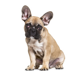 French Bulldog, 5 months old, sitting against white background