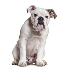 French Bulldog, 5 months old, sitting against white background © Eric Isselée