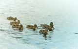 A group of Mallard Ducks on the Lake. Wild birds. Natural landscape with wild  animals - 221967452