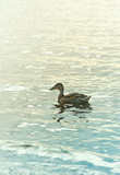 A male Mallard Duck on the Lake. Wild birds. Natural landscape with wild animal. Copy space - 221968052