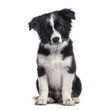 Leinwandbild Motiv Border Collie puppy, 17 weeks old, sitting against white background