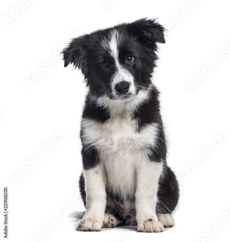 Leinwanddruck Bild Border Collie puppy, 17 weeks old, sitting against white background