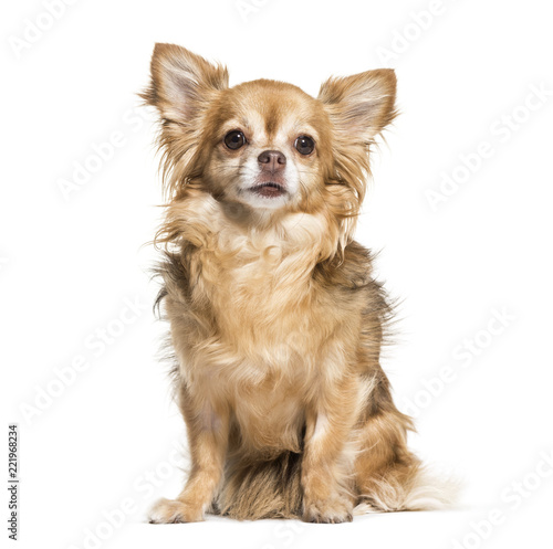 Chihuahua dog, 7 years old, sitting against white background