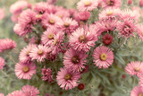Pink Aster Flowers. Autumn flowers. Close-up. Copy space - 221968660