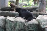 Asian black bear at the zoo, Asiatic black bear (Ursus thibetanus) - 221968805
