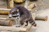 Raccoons in Odesa biopark zoo - 221971274