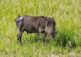 warthog on grass - 221978885