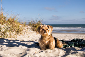 Long Haired Dog Sitting on Blanket at the Beach