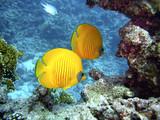 Zitronenfalterfische im Roten Meer
