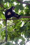 Thoma's langur monkey - 222003271