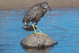 Black crowned Heron - 222005634