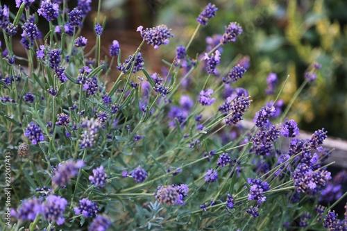 lavender flowers - 222007433
