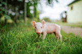 Close-up image of small piglet. - 222008215