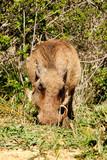 Warthog scratching in the ground - 222008858