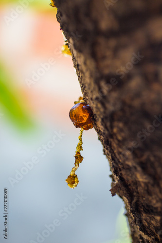 Close-up of Resin on Tree Bark - 222010869