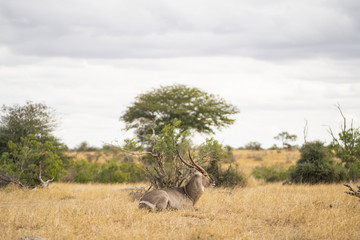Kudu is resting in the savannah at Kruger Nationalpark, South Africa