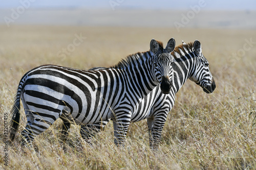 Fototapeta herd of zebra