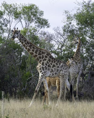 Fototapeta Giraffe - Wildlife of The Great Lumpopo Transfrontier Park