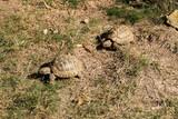 Griechische Landschildkröten - 222024808