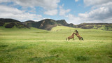 Two wild horses playing in the green hills of Kaimanawa mountain ranges, North Island, New Zealand - 222027003