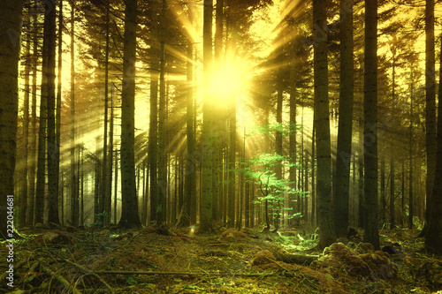 Golden sun rays Magical gold colored sun rays through forest tree landscape. trees