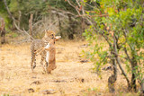 After killing his prey, the cheetah is carrying the prey to place to eat at Kruger Nationalpark, South Africa - 222047409