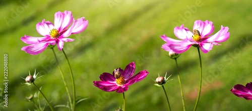 Pink cosmos flowers and bee. Flowers background. - 222048880