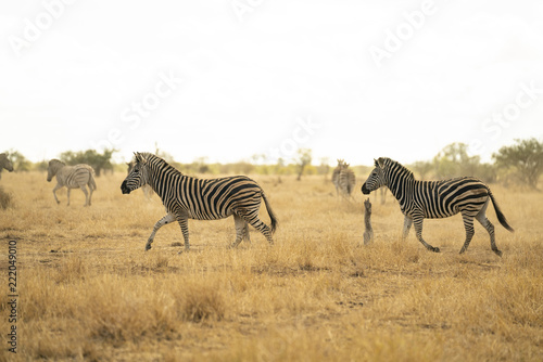 Fototapeta African Zebras are running in the savannah of Kruger National Park, South Africa