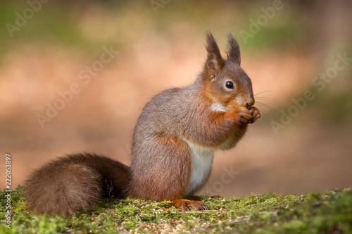 Foto Murales red squirrel