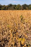 Sojaanbau in Baden-Württemberg - Sojafeld am Waldrand im Frühherbst (Glycine max) soy field in Germany - 222055493