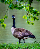canada goose on green grass - 222060045