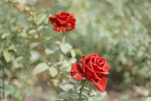 Two red roses in garden
