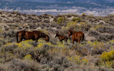 A Wild Mustang Family with a Foal - 222070270
