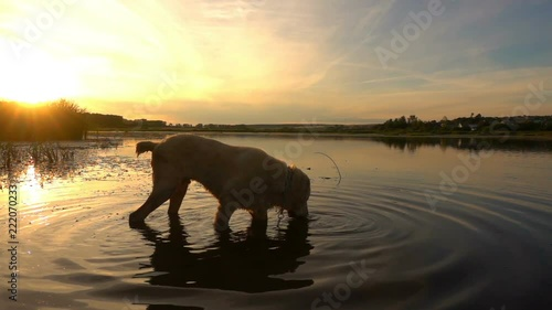 Central Asian Shepherd swims in a pond during sunset, slow motion