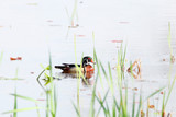 Beautiful wood duck in the lake - 222070469