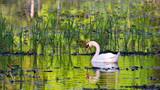 Beautiful white Swan in the lake - 222073866
