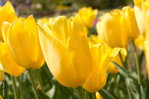 Foto Murales Yellow Tulips