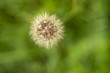 single dandelion with green background